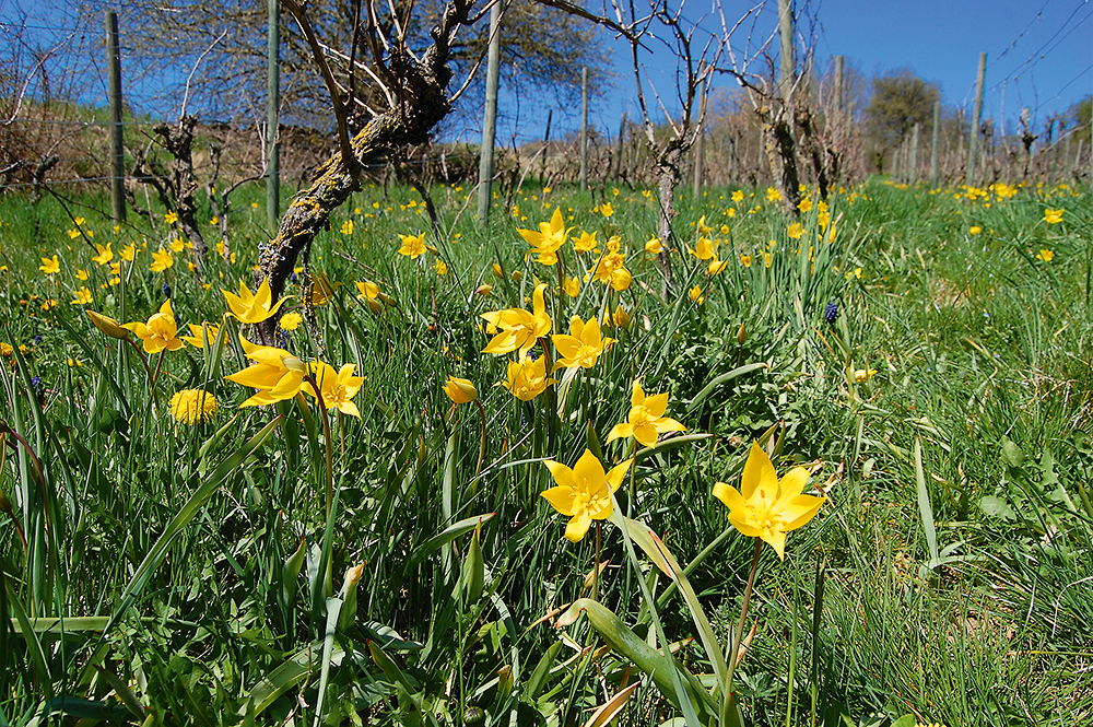 Im Weinberg von Niederstetten im  Vorbachtal blühen im April zahlreiche Wild-Tulpen