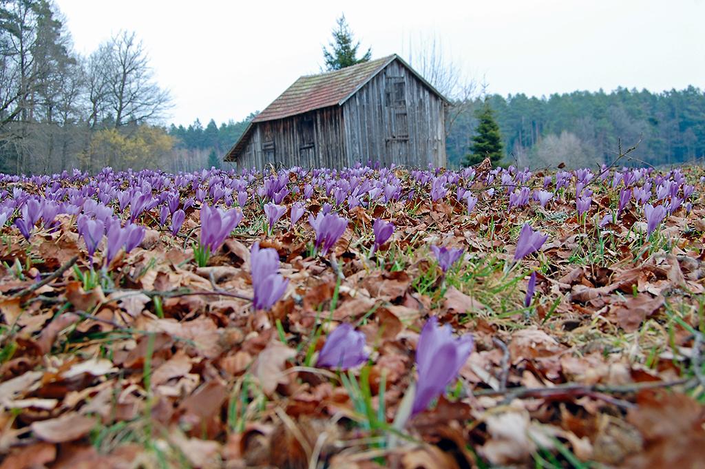 In der spätwinterlichen Landschaft mit kahlen Bäumen und braunen Blättern sind die Krokusblüten besonders auffällig.