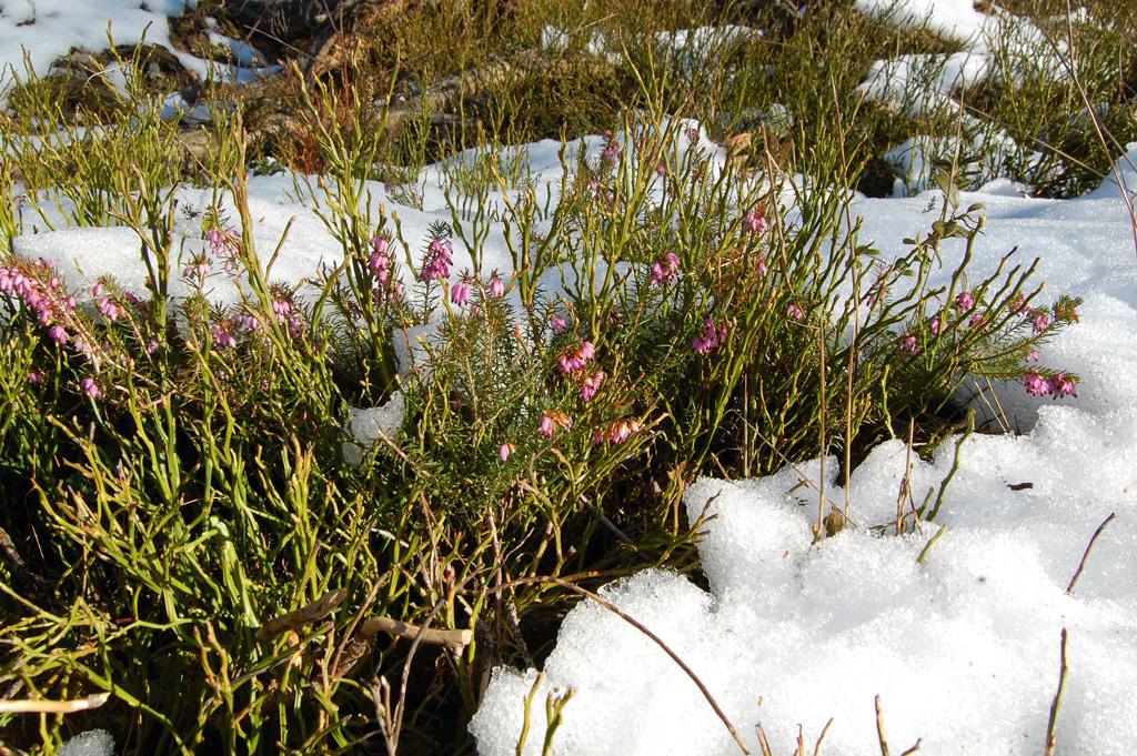 Schneeheide neben den Zweigen der Heidelbeere, die mehrere Jahre grün bleiben
