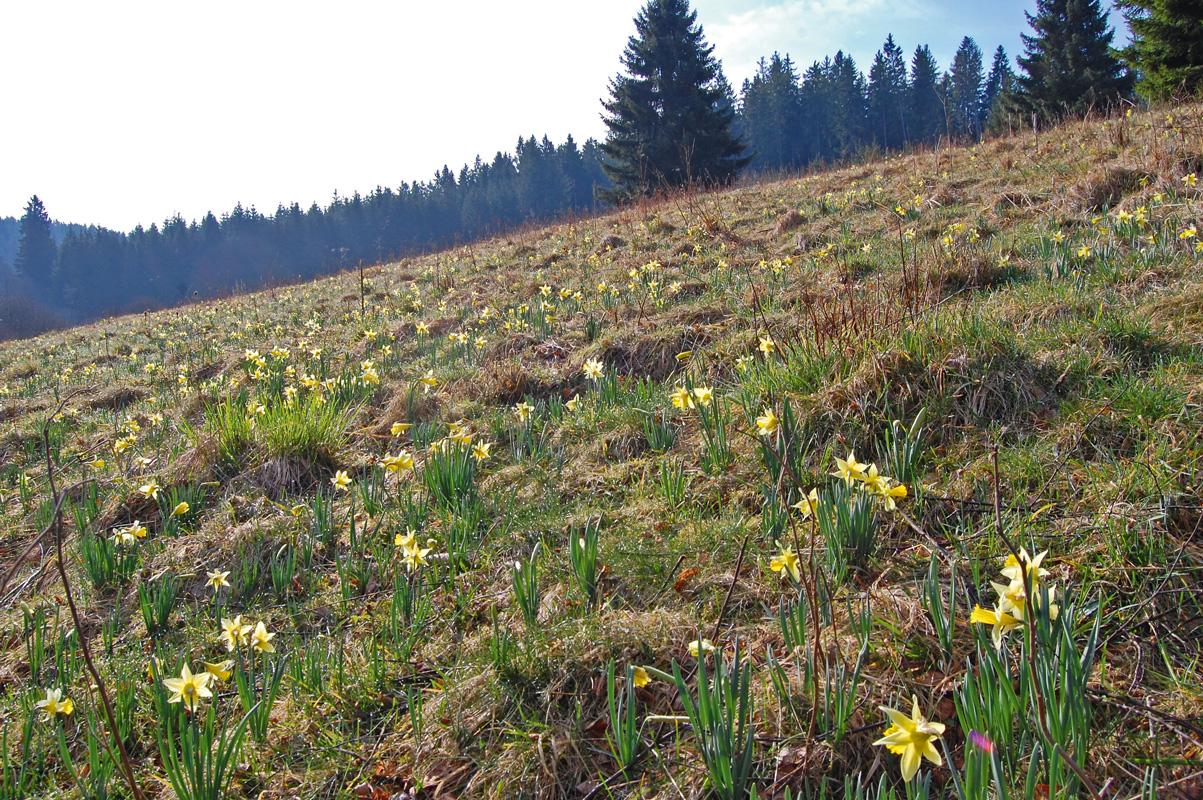 Narzissenwiese im Oleftal auf belgischem Boden.