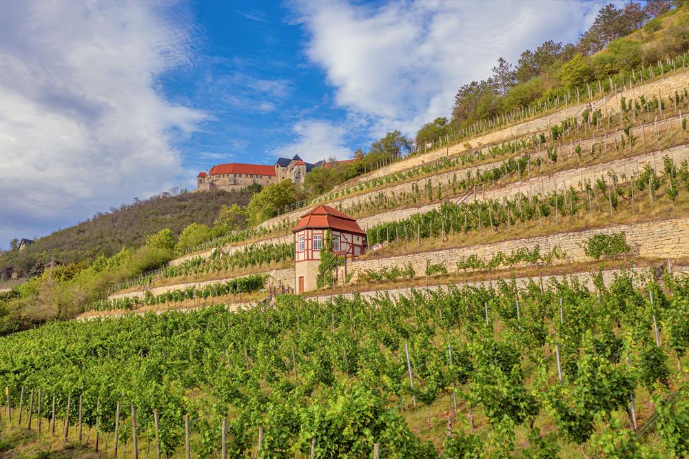 Herzoglicher Weinberg bei Neuenburg © Saale-Unstrut Tourismus e.V., Falko Matte