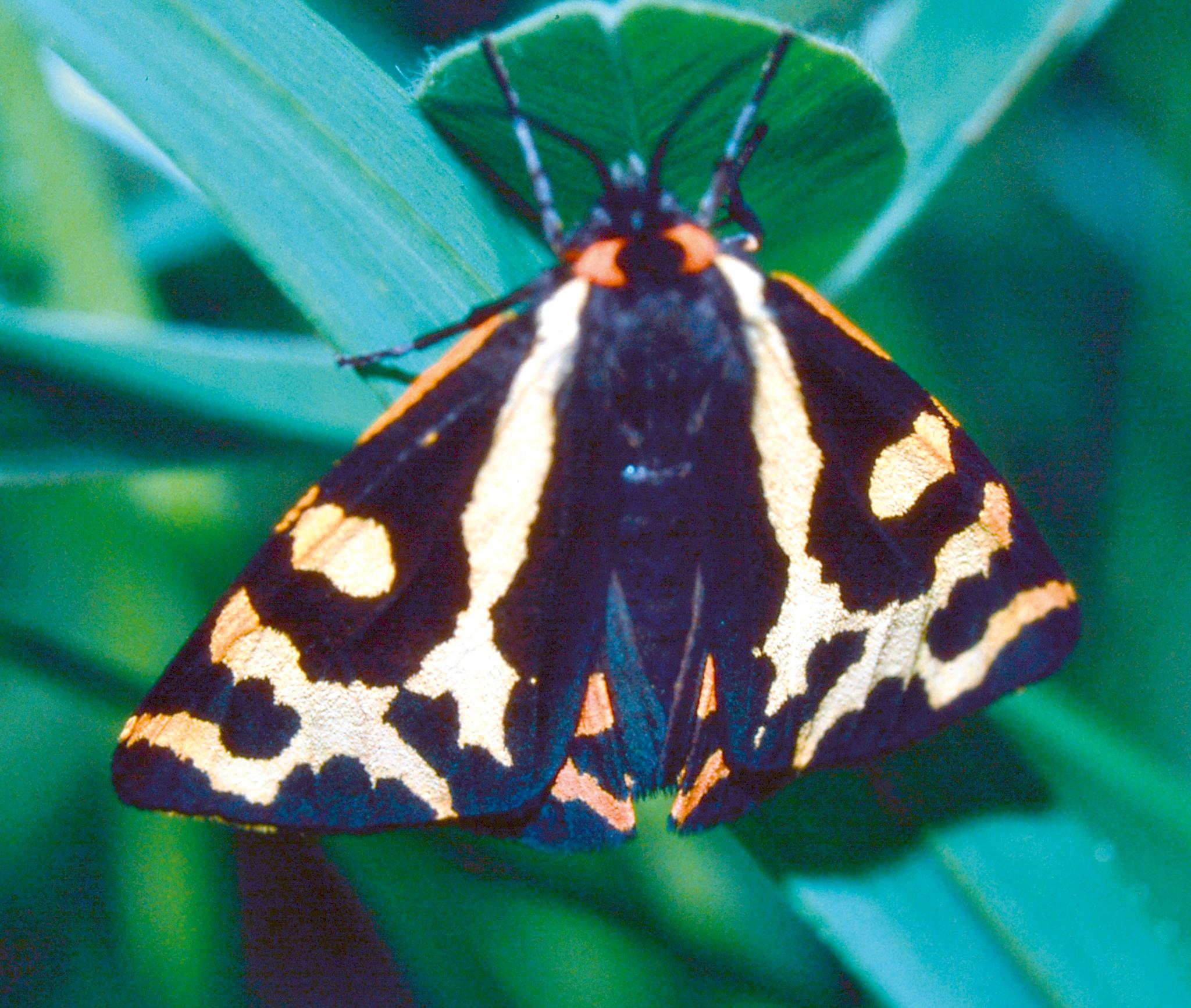 Wegerichbär (Parasemia plantaginis) am Hohen Landsberg. Männliche Tiere könne auch am Tag beobachtet werden. In Gebirgen sind sie noch häufig, in tieferen Lagen deutlich zurückgehend.