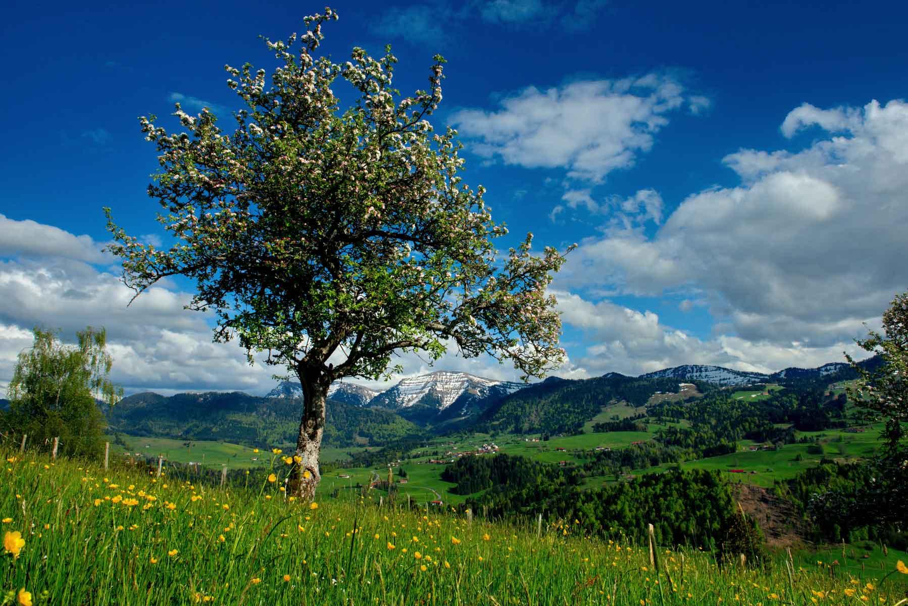 Frühling in Oberstaufen mit dem Hochgrat im Hintergrund © Oberstaufen Tourismus