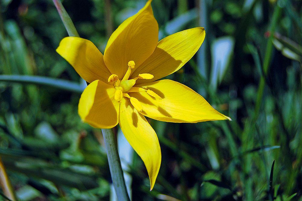 Die Wild-Tulpe hat sechs gelbe Perigonblätter und sechs Staubblätter