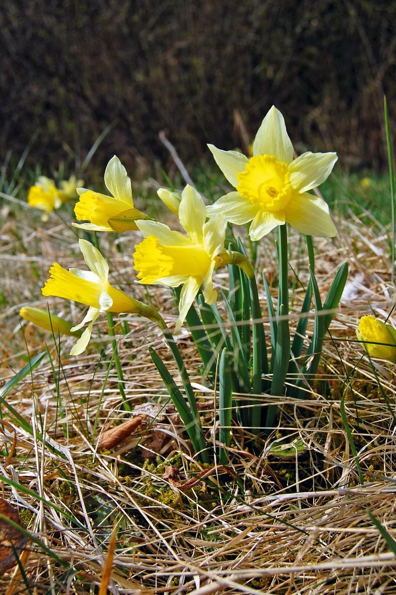 Die Gelbe Narzisse kommt in der Eifel und den angrenzenden Ardennen in Belgien und in Deutschland vor.