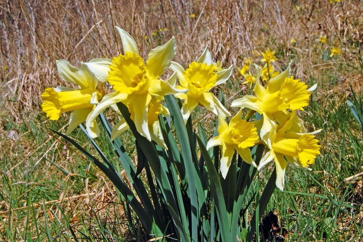 Gelbe Perigonblätter und die dottergelbe Nebenkrone, beide sind etwa gleichlang, kennzeichnen die Osterglocke.