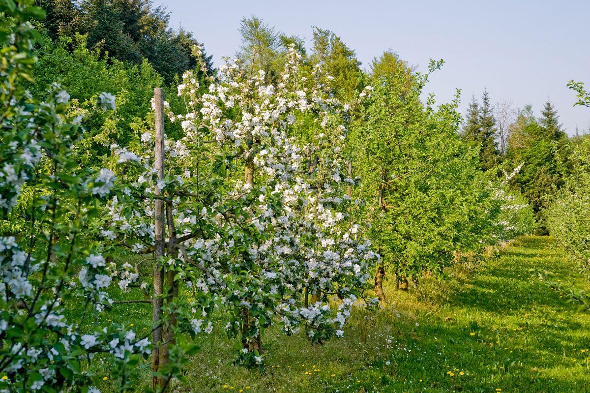 Obstbäume in Blüte © Spessart-Mainland, Horst Klement