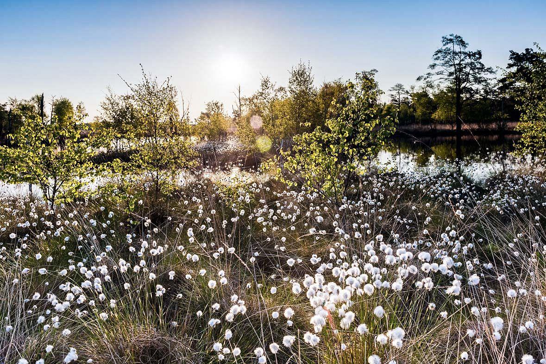 Wollgrasblüte im Pietzmoor ©Lüneburger Heide GmbH