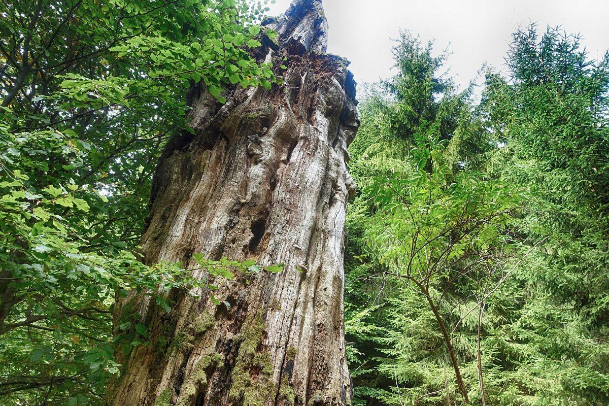 Baumdenkmäler im Nationalpark Kellerwald-Edersee © powerwalkers.de - Martin Prasch