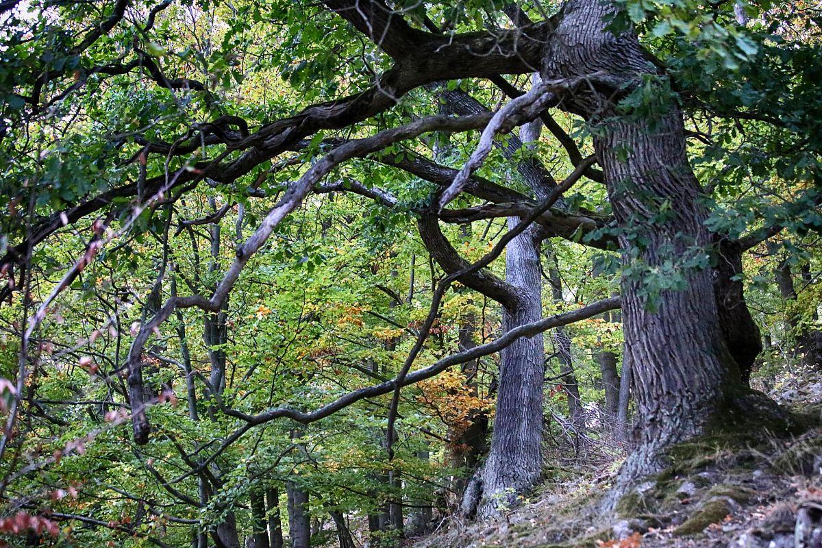 Uralte Bäume  rund um den Edersee © powerwalkers.de - Martin Prasch