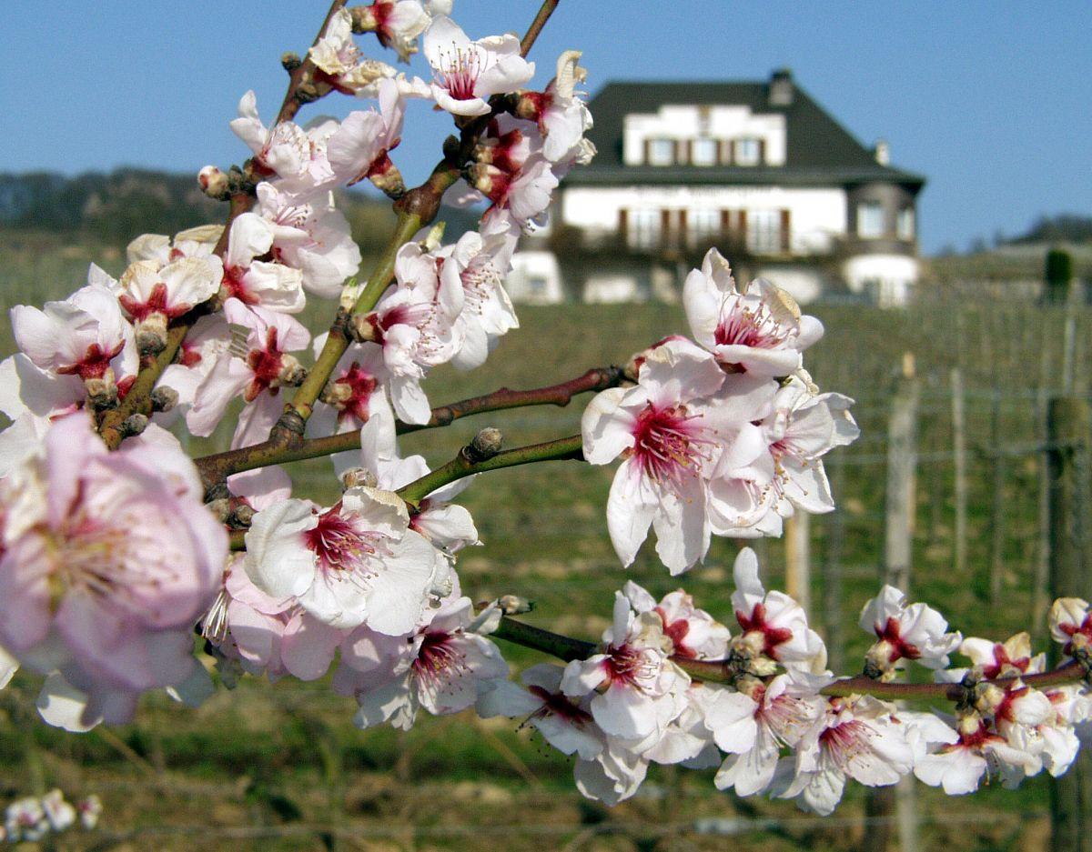 Früh dran: Die Mandelblüte im Rebmuttergarten Heppenheim © Tourismus Service Bergstrasse