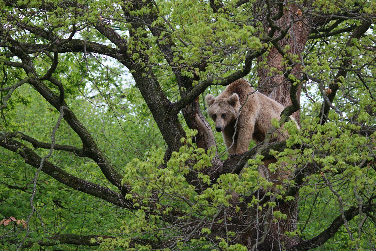 Mit etwas Glück lassen sich in den Karpaten Braunbären beobachten.