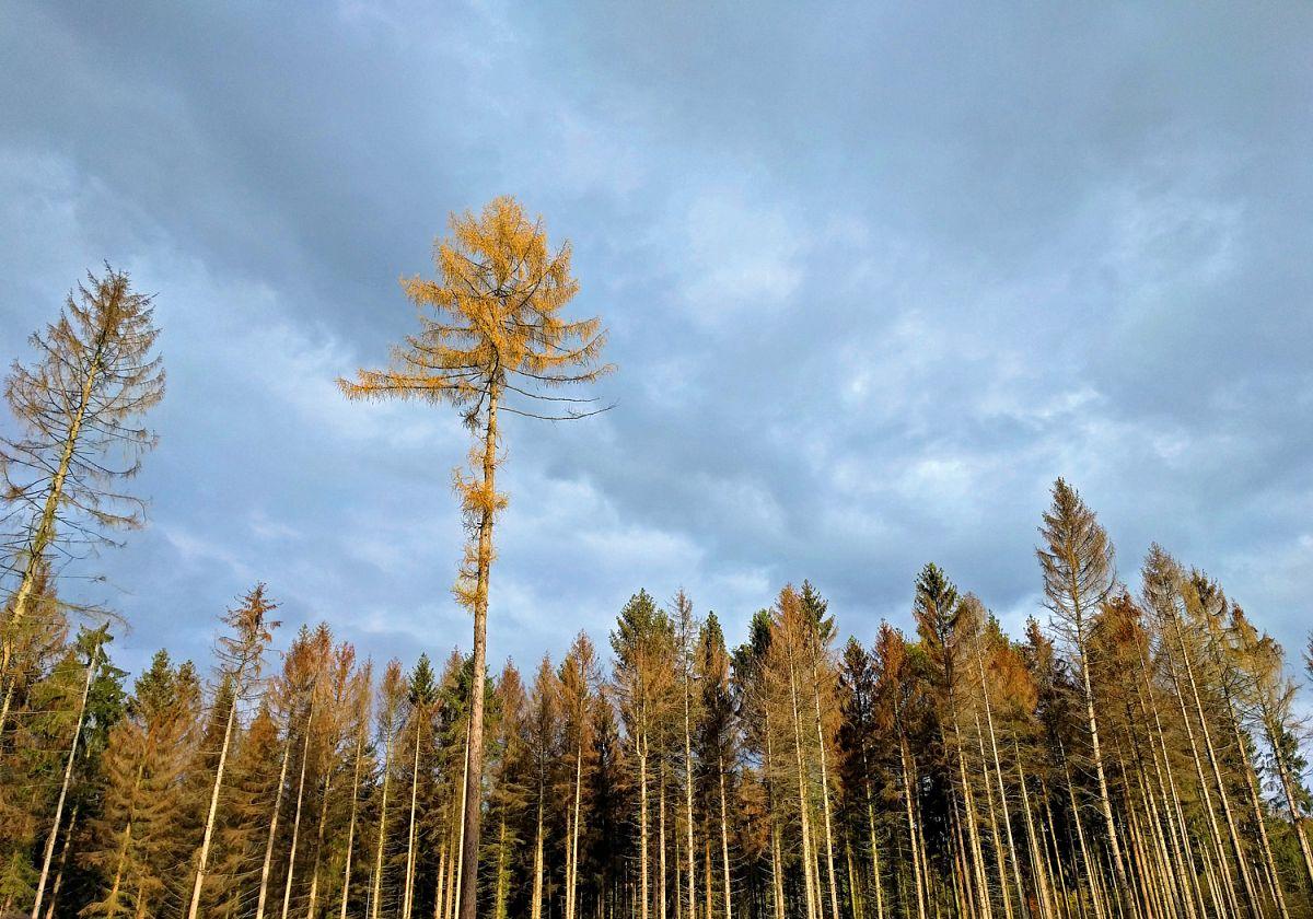 Zum Verwechseln ähnlich: Eine Lärche im Herbstkleid und dahinter vertrocknende Fichten © Ricarda Große