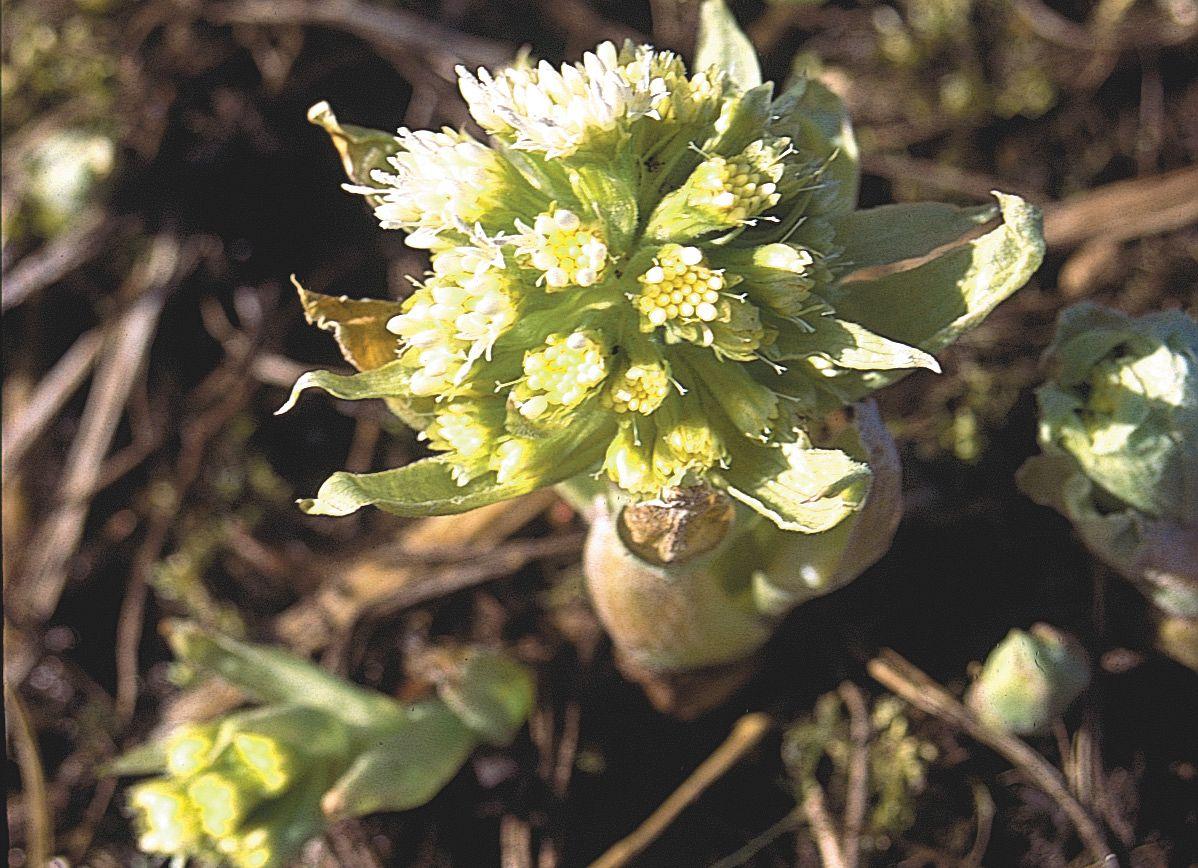 Auch der Weiße Pestwurz zählt zu den Frühlingsblühern der Geisingwiesen.