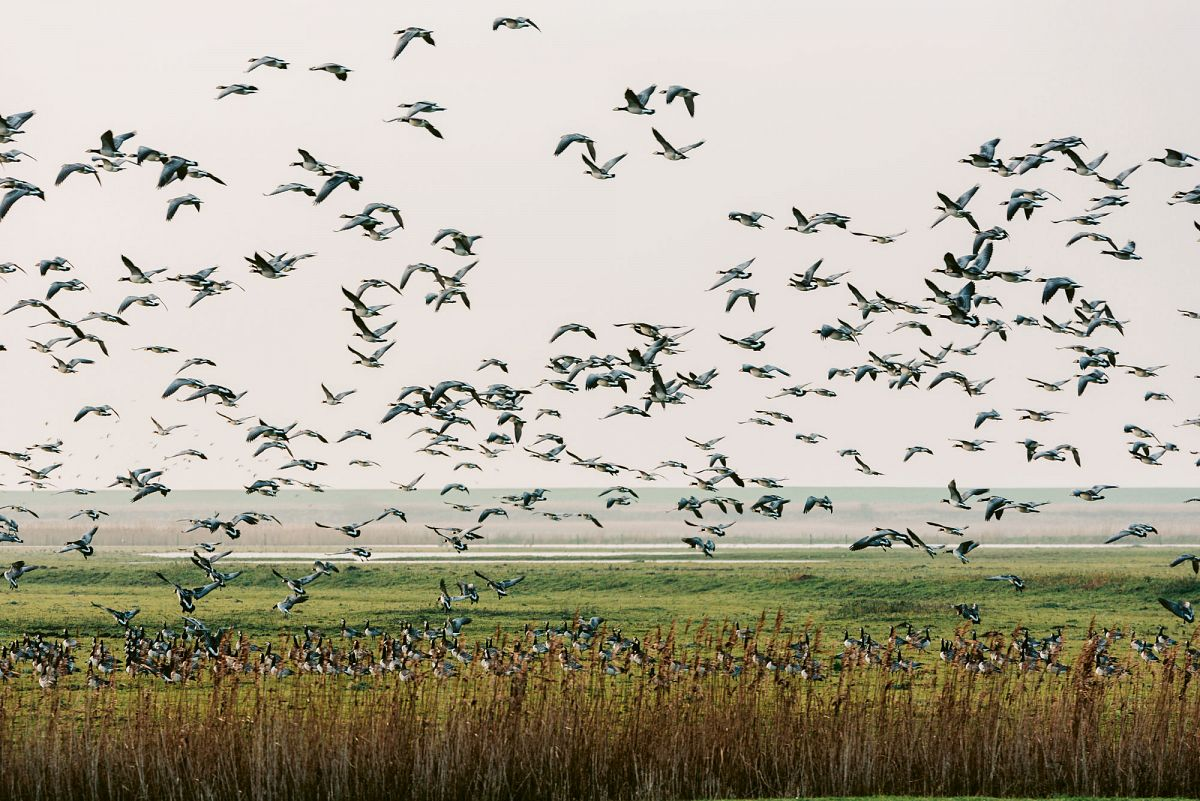 Zugvögel im Nationalpark Niedersächsisches Wattenmeer © Paul Meixner