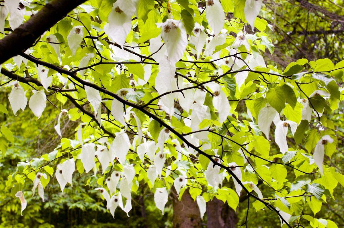 Der Taschentuchbaum im Buddenberg Arboretum