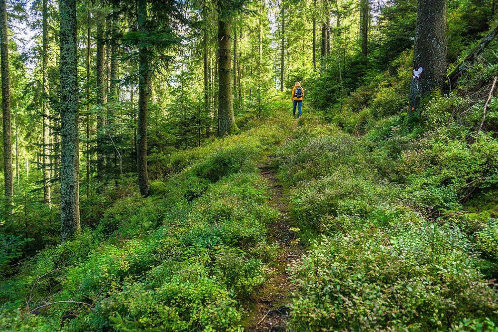 Auf schmalen Pfaden durch das Auerhuhn-Revier © Tourismus GmbH Nördlicher Schwarzwald, Alex Kijak