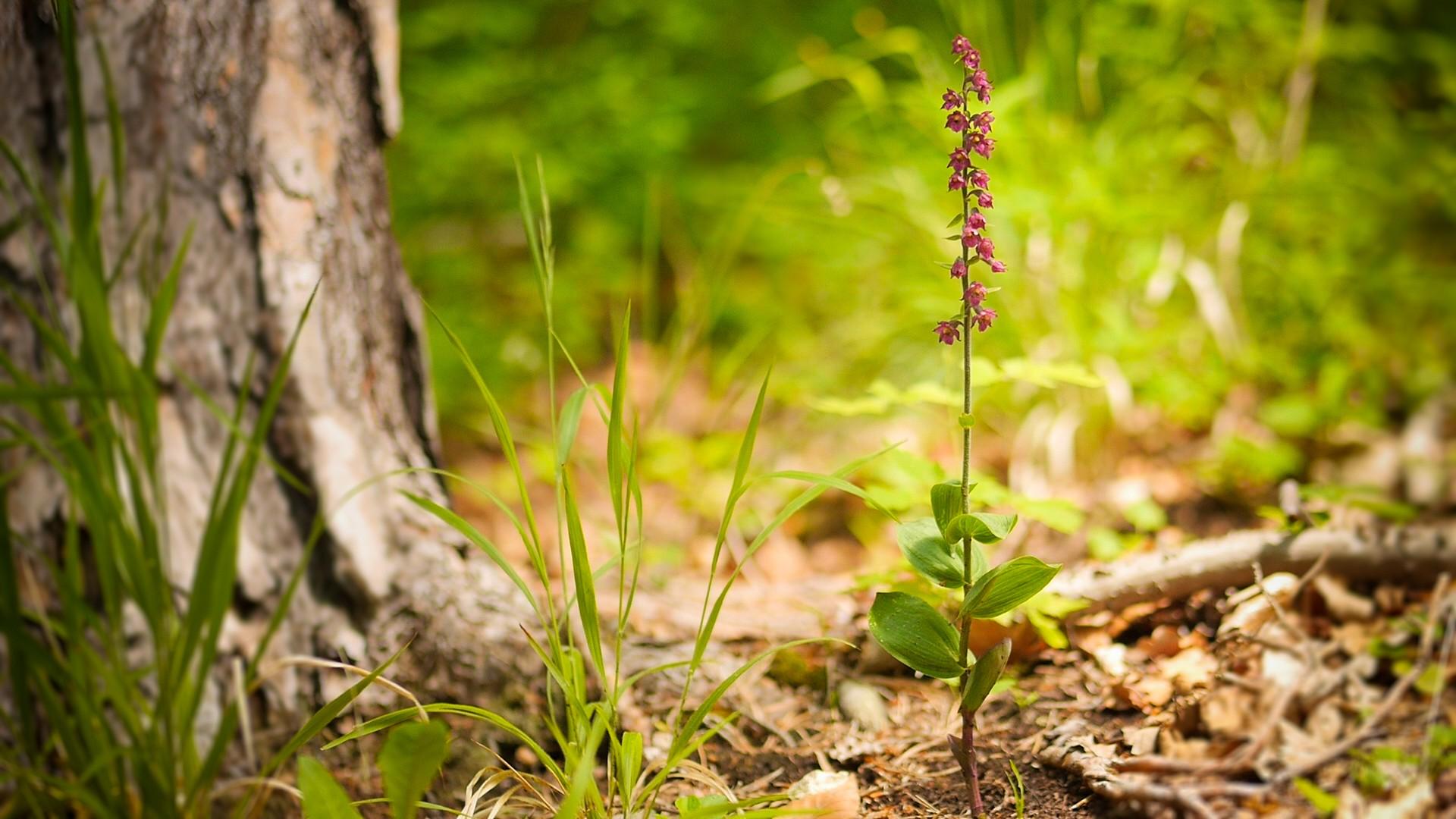 pDienbspBraunrote-Stendelwurz-stehtnbspwie-alle-einheimischen-Orchideenarten-unter-Naturschutz-Sie-kann-eine-Wuchshoumlhe-von-bis-zu-80-cm-erreichenp