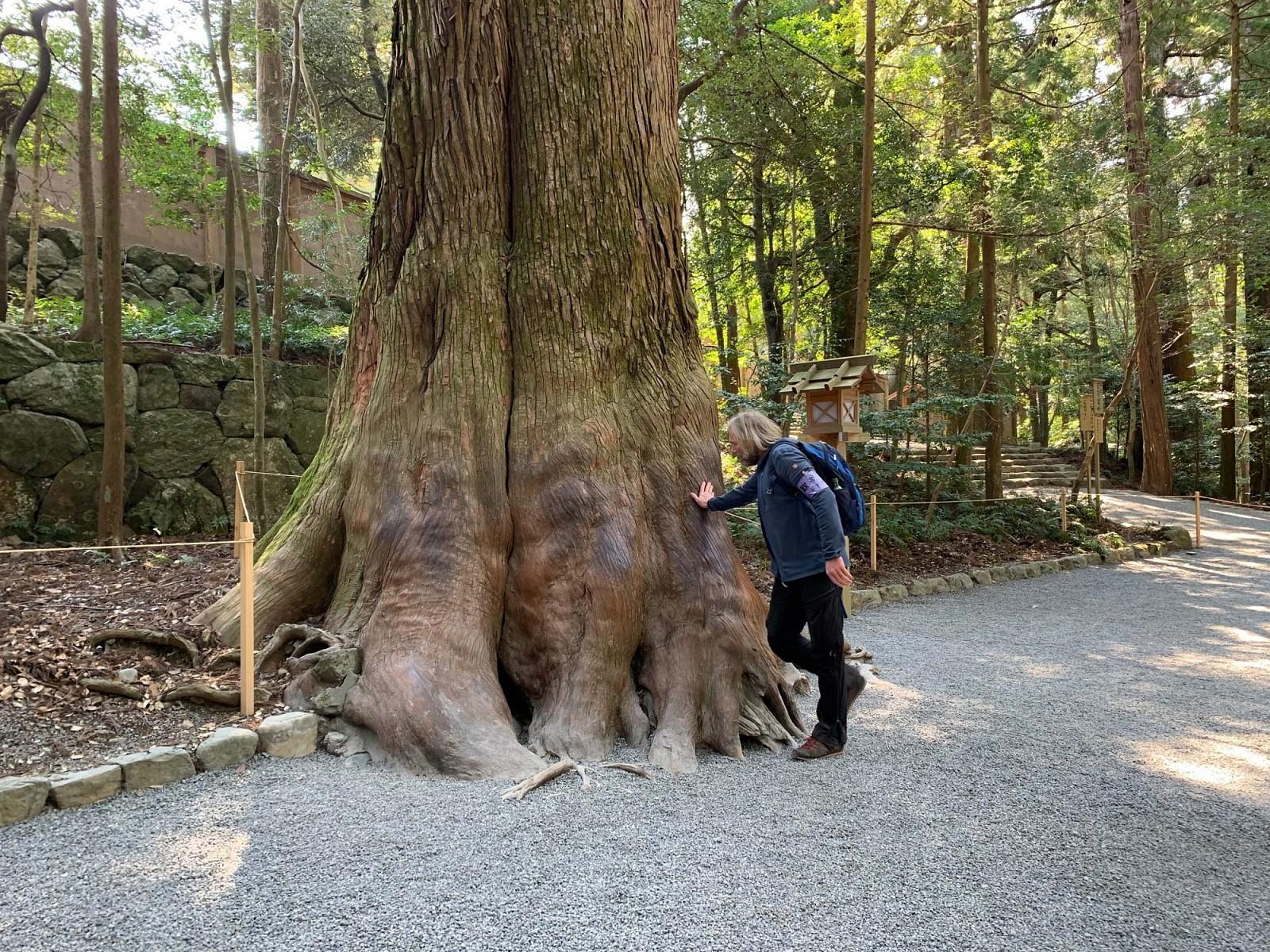 pspan-stylecolornullRespekt-vor-dem-Alternbspspanppspan-stylecolornullDieser-gewaltige-Baum-stehtnbspnahe-des-Groszligen-Ise-Schreinsspanp