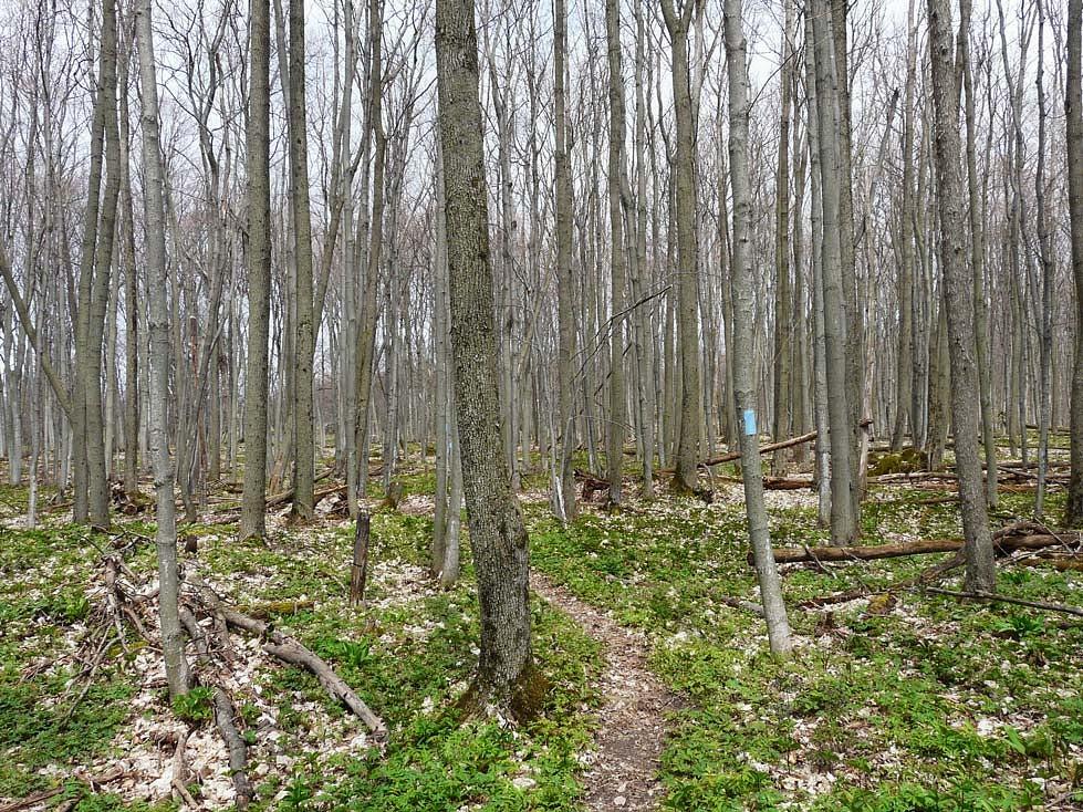 pDer-schmale-Pfad-schaumlngelt-sich-idyllisch-durch-dasnbspWaumlldchen-Die-blaue-Markierung-am-Baum-signalisiert-dass-ich-mich-auf-einem-Seiten--bzw-Zugangsweg-des-Bruce-Trails-befindep