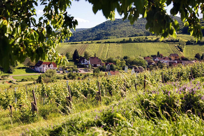 pUnverwechselbar-sind-die-Aussichten-uumlber-Weinterrassen-und-die-Huumlgelkettennbspder-Region-Im-Sommer-rahmen-gruumlne-Baumkronen-die-Sicht-im-Herbst-begruumlszligen-den-Wanderer-Weinlese-und-buntes-Laubnbspp