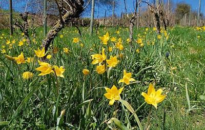 Gelbe wilde Tulpen